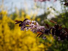 .... mit erstens.... sonnig-gelbem Hintergrund  >>>> (mohnblume2013) Tags: bokeh focus blutpflaume rosa gelb frühling blume baum