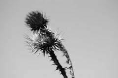 Flores secas (carlosgconde1) Tags: flor blümen fleur flori flower seco dry sec campo country naturaleza naturalezamuerta trocken natur priroda природа tsvetok pole feld blancoynegro bw bn blanchetnoir biancoenero