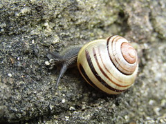 Snail on Moss Bridge, Wigan Flashes (stevencarruthers93) Tags: wigan wiganflashes nature wildlife wildlifephotgraphy naturephotography photography outdoors greenheart