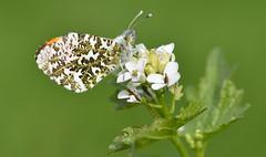 Orange-tip (Anthocharis cardamines) (Bob Eade) Tags: orangetip garlicmustard butterfly lepidoptera westsussex sussex spring meadow macro male roosting wildlife nature nikon sigma