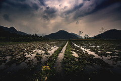Vietnam (♫♪♭Enricodot ♫♪♭ an apple a day....) Tags: enricodot ilobsterit vietnam rice ricefield field grass green water