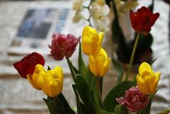 Blomstrar (dese) Tags: dale blomstrar tulipanar sunnfjord påske fjaler sognogfjordane vestlandet noreg tulips tulip dağlaləsi lale tulipa tulipe tulipani tulp tulpen tulpaner tule лала тулипан april11 2017 2017 april vår spring primavera yaz printemps forår frühling flowers