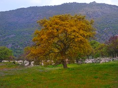 An oak tree...Filia village..Lesvos Greece (panoskaralis) Tags: oak tree trees flower flowers nature green colours mountain mountainside mountains outdoor landscape island lesbian lesbos lesvosisland lesvos mytilene greece greek hellas hellenic aegean aegeansea