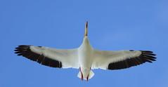 American White Pelican (Stanley Wood) Tags: americanwhitepelican pelecanuserythrorhynchos columbianationalwildliferefuge pelican bird