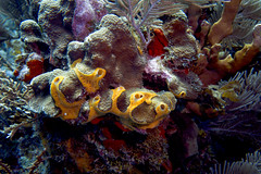 fighting for space (Jeff Mitton) Tags: yellowburrowingsponge starcoral softcoral marine tropical reef underwater scuba