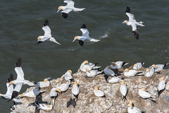DSC_3615 (Adrian Royle) Tags: yorkshire flamborough bemptoncliffsrspb rspb nature wildlife bird birds gannet gannets seabirds sea cliff coast colony flying wings feathers nikon