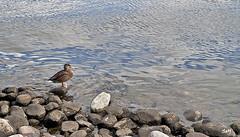 Tomando el sol... (svet.llum) Tags: río agua paisaje ciudad moscú rusia parque pato animal