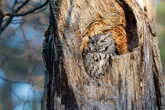 Screech Owl (Watchdog Images) Tags: d500 nikon nature nikkor nikond500 dx