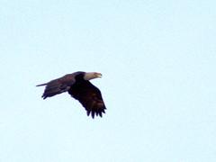 Bald Eagle flying NW 20170421 (Kenneth Cole Schneider) Tags: florida miramar westmiramarwca