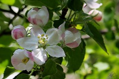 It's a spring time (superhic) Tags: proleće spring 2017 priroda nature bokeh flower tree apple jabuka behar macro blossom