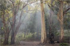 Sun rays glaring through these beautiful old gum trees (Pwa25) Tags: gumtree gum noojee victoria australia bush forrest country sunrays morning softlight canon