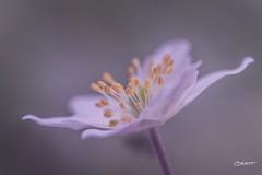 SoftFocus Anemone (Brant He. Fageraas) Tags: woodanemone anemone flower flora flowerart nature naturesart light naturallight macro shallowdof bokeh softfocus colors canon