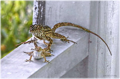 Leapin' Lizards! (Chris C. Crowley- Editing for the next month or so) Tags: leapinlizards brownanolelizards lizardsmating maleandfemalebrownanolelizards mating porch tail reptiles claws animals wildlife nature