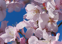 Cherry Blossoms (mahar15) Tags: spring blooms flowers pink blossom nature outdoors blossoms cherryblossoms pinkblossom
