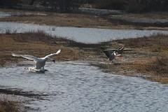 Angry swan scares of two geese, Spartelmeer, Bloemendaal aan Zee (René Mouton) Tags: zwaan swan spartelmeer bloemendaalaanzee holland noordholland thenetherlands nederland ganzen geese watervogels