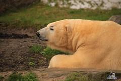 Erlebniszoo Hannver 15.04.2017 028 (Fruehlingsstern) Tags: eisbären polarbear sprinter melana elefanten seelöwen weiskopfseeadler yukonbay erlebniszoohannover hannover canoneos750 tamron16300 zoo