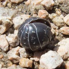 Мокрица-броненосец обыкновенная / Armadillidium vulgare / (Common) pill-bug, (Common) pill woodlouse, Roly-poly, Doodle bug, or Carpenter (katunchik) Tags: armadillidium vulgare