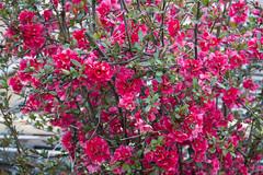 IMG_0278 (vargabandi) Tags: chaenomeles vargabandi garden red blossom