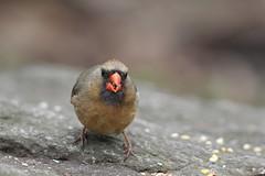 Angry Looking Cardinal (gmorient1@aol.com) Tags: birds centralpark newyork springmigration