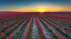 Field of tulips at sunset (PIERRE LECLERC PHOTO) Tags: tulips farm flowers spring sunset field fieldoftulips rows sun landscape outdoors tulipfestival washington usa roadtrip adventure beauty pierreleclercphotography