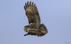 Chouette lapone (yveshebert) Tags: select oiseaux oiseauxduquébec outaouais ottawariver owl birds birdsofprey birdsinflight parcnationaldeplaisance