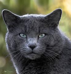Intense (Jeff Carnie Studios) Tags: graycat