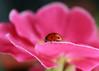 Ladybird in the Pink (Ann Dixon) Tags: virtualjourney