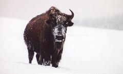 Winter Bison 0039 (fiddlersgreen) Tags: southdakota snowstorm bison