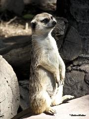"MEERKAT 300_271 (Dancing with Ghosts Graphics) Tags: copyright cute animal mammal meerkat pups small gang mob 300 clan mongoose angola sentry suricate burrows suricatta desert"" diurnal 2013 fawncolored herpestid iteroparous ""kalahari dwgg ""namib debbrawalker feliform dancingwghosts ""suricata suricatta"" ""botswana"" oraging siricata"" majoriae"" iona"""