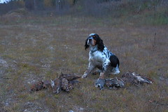 """Caza Becada / Hunting Woodcock • <a style=""""font-size:0.8em;"""" href=""""https://www.flickr.com/photos/61427906@N06/13853323033/"""" target=""""_blank"""">View on Flickr</a>"""