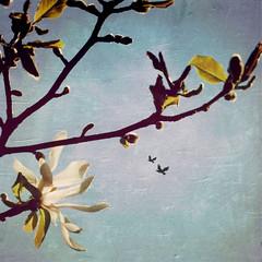 my special Guest (Nick Kenrick.) Tags: spring blossom sakura victoriabc starmagnolia sakurahanami magicunicornverybest magicunicornmasterpiece blankofilm raymarkiilens