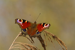 Peacock (Nigel Fox (insignia50)) Tags: butterfly reeds peacock