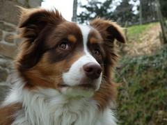 Darwin australian shepherd (Emeline Broussard) Tags: dog chien shepherd australian hund australien berger