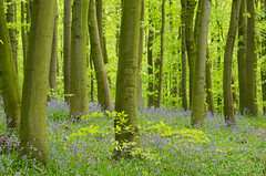 Green Light (1963chris) Tags: wood flowers trees colour green nature leaves bluebells rural countryside spring woods nikon raw foliage greenery wildflowers colourful springtime newmillerdam