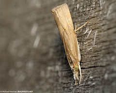 Light Colors (Moth) (jialiar) Tags: wood macro moth lepidoptera 1855mm snout reverselens