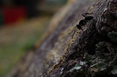 ant (petitpixel) Tags: ant fourmi d5100