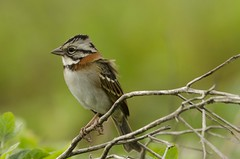Tico-tico (Rufous-collared Sparrow) (Jonatan Vitor Lemos) Tags: bird sparrow birdwatcher capensis ticotico zonotrichia rufouscollared