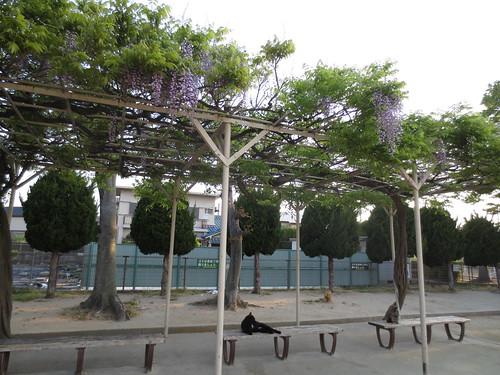 公園の藤棚
