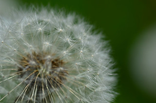 Common Dandelion Puffball