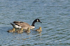 Contraintes familiales *-* (Titole) Tags: family water bernachesducanada oisons storybookwinner titole nicolefaton