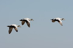 Eider Trio. (stonefaction) Tags: nature birds scotland fife wildlife ness crail faved kilminning