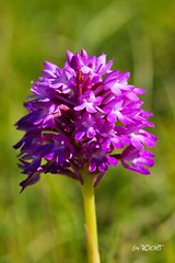 DSC02670_GF (TATIUMZI) Tags: france nature fleur sony sigma alpha 700 orchidées charentemaritime 105macro jonzac poitoucharente proxi alpha700 sonyalpha700