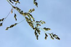 Grass (gripspix) Tags: plants nature grass natur pflanzen gras 20140522