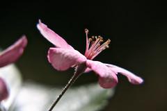In The Spotlight, Adelaide_9773 (Rikx) Tags: pink sunlight flower garden blossom explore adelaide southaustralia appleblossom crabappleblossom fantasticflower