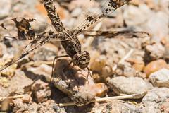 filigree skimmer (explored 5/2/2014) (robert salinas) Tags: austin texas unitedstates dragonflies a77 odonates