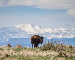 American Bison and The Rockies (-iamryanmckinney) Tags: canon rockies colorado denver bison 70200 5dmkii rmawr