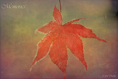 Frosted Maple Leaf (guizhou2012) Tags: texture vintage nikon oldstyle autumnleaves memory withered wildflower fadingcolors distressedlook frostedmapleleaf