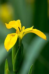 Yellow Iris (Derek.P.) Tags: flowers iris flores flower nature fleurs flora blumen fiori  wildflower naturalworld pottericcarr  yellowiris potteric yellowflagiris irispseudacorusl
