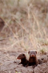 Curiosity (TheWanderingAmerican) Tags: africa animals southafrica dwarf african lion safari leopard animalplanet mpumalanga mongoose kruger nationalgeographic natgeo malamala