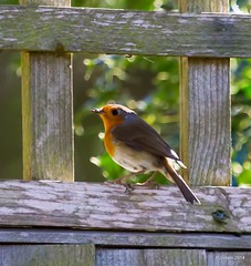 In the Frame... (Peter J. Ham) Tags: life art nature robin birds gardens canon fence fun frames birding picture aves images oiseaux avies